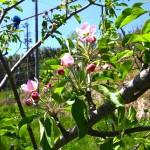 りんご園に行ってきました。