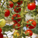 トマトの話。