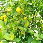 レモンの話
