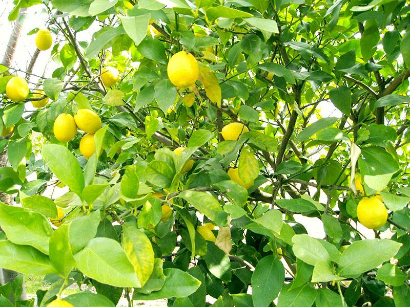 レモン_栽培2_2