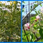 トマトの花言葉、りんごの花言葉