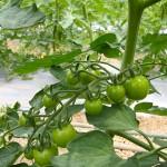 去年育てたトマトの種で・・・。