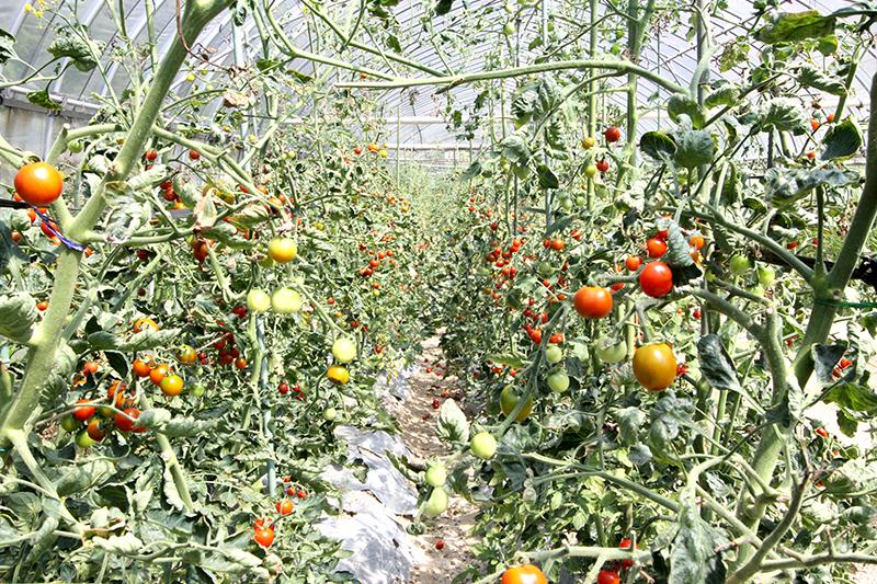 ベジタリー自然栽培ビニールハウス