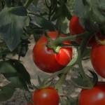 トマトの裂果について
