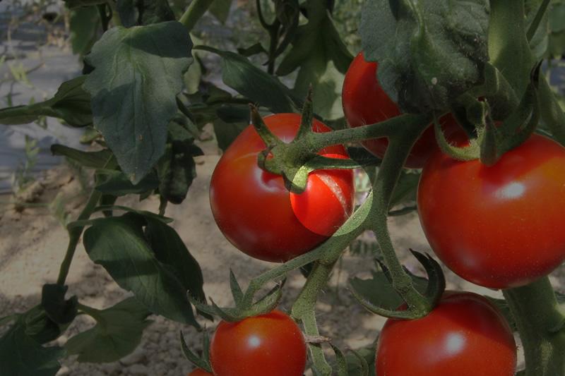 裂果したトマト
